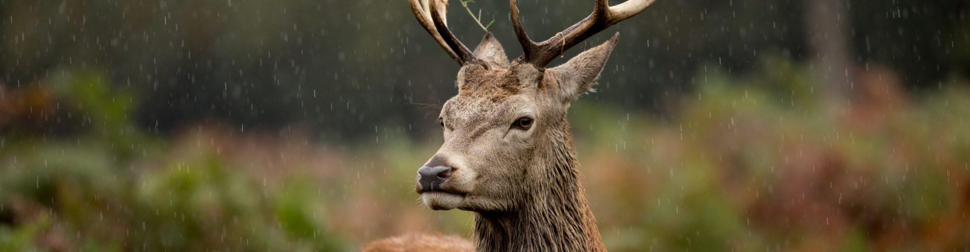 A Scottish stag standing in braken in the rain