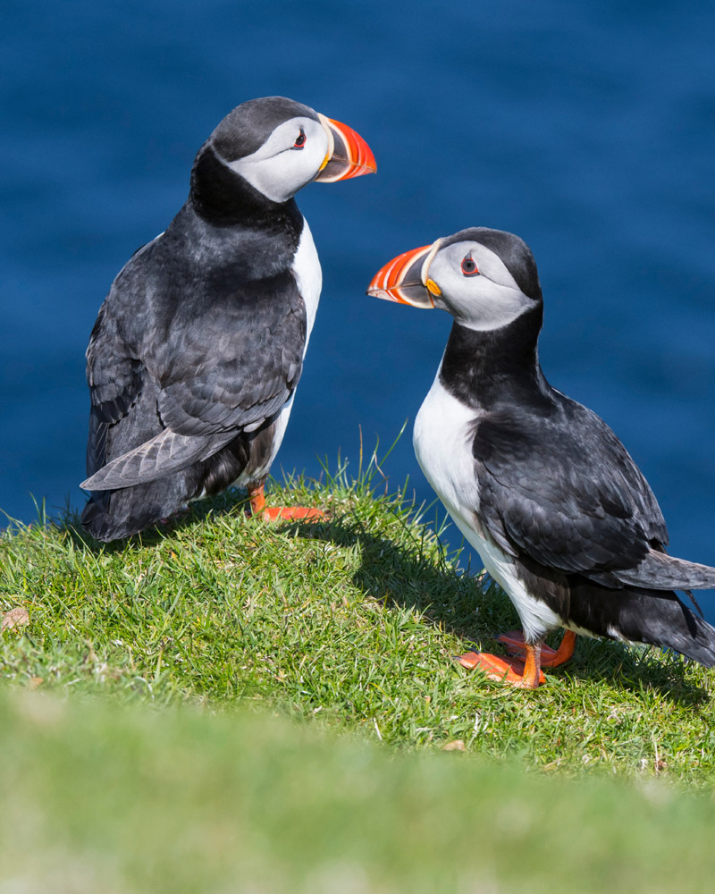 Two Atlantic Puffins in Scotland